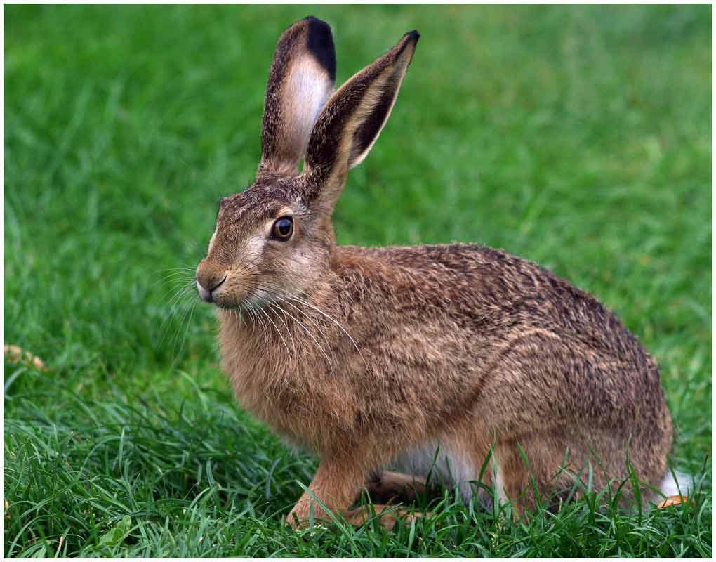 2 класс.  Тема: Дикие животные.  Заяц.