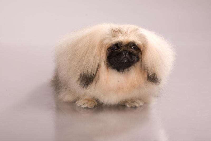 Продам щенков Пекинеса разного окраса и возраста.