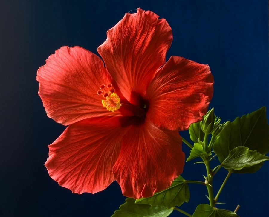 Аленький цветок картинки 5